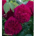 Саженцы розы Вильямс Шекспир
