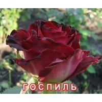 Саженцы розы Госпиль
