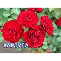Саженцы розы Кардула