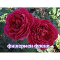 Саженцы розы Фишермен Френд