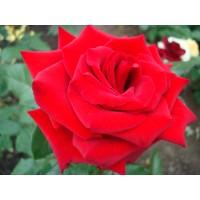 Роза Майн Тауэр