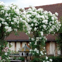 Саженцы розы Шнеевальзер