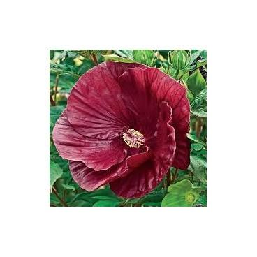 Гибискус травянистый«КРЭНБЕРРИ КРАШ» ( «Клюквенная мякоть»)