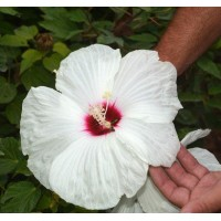 Белый гигант