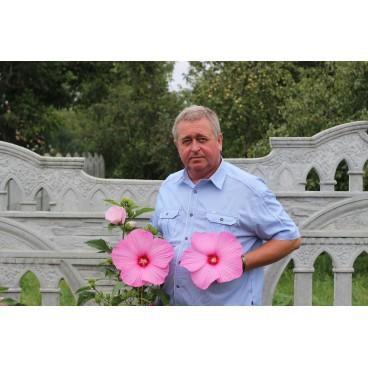 Гибискус травянистый Розовый гигант