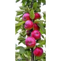 Колоновидна яблоня ДЖИН