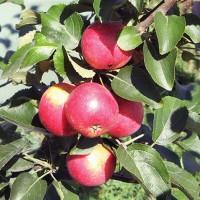 Колоновидна яблоня АРБАТ