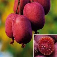 Актинідія Пурпурна