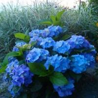 Гортензия садовая 'Nikko Blue'