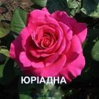 Саженцы розы Биг Перпл (Юриадна)