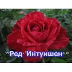 Саженцы розы Ред Интуишен