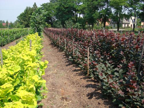Саженцы плодовых растений